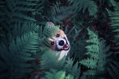 Cute red puppy dog corgi on a walk in the summer park he hid in the thick thickets of fern leaves and peeps funny