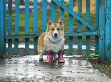 Cute red puppy dog Corgi walks through the puddles in the village in a ridiculous rubber boots after a warm rain in the background. Cute red puppy dog Corgi royalty free stock images