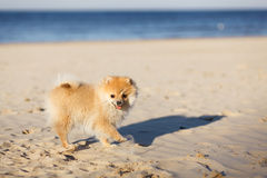 Cute red puppy German Spitz walk on the beach selective focus royalty free stock image