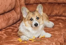 Cute red puppy at home lies on the couch and tore and took out of the furniture foam rubber and looks guilty. Cute naughty red puppy at home lies on the couch royalty free stock image
