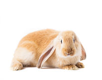 Cute red rabbit Royalty Free Stock Image