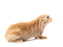 Cute red rabbit Royalty Free Stock Photos
