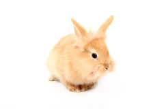 Cute red rabbit Royalty Free Stock Photo