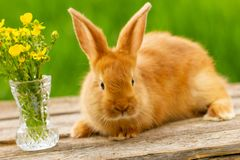 Cute red rabbit sitting on a green natural background, spring mood stock images