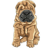 Cute red Shar Pei dog puppy smiles Stock Images