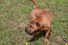 Cute red shar-pei puppy is playing on a green meadow. Pet animals. Cute red shar-pei puppy is playing on a green grass. Pet animals royalty free stock image