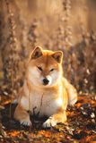 Cute red Shiba inu dog lying in the field at golden sunset. Close-up portrait of a cute red dog breed Shiba inu lying in the field at golden sunset. Beautiful royalty free stock image