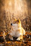 Cute red Shiba inu dog lying in the field at golden sunset. Profile portrait of a cutel red dog breed Shiba inu lying in the field at golden sunset. Beautiful royalty free stock images