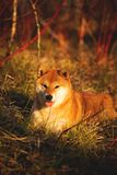Cute red shiba inu dog lying on the grass in the forest at golden sunset. Close-up portraiit of cute and happy shiba inu dog lying on the grass in the forest at royalty free stock images