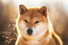 Cute red Shiba inu dog sitting in the field at sunset. Close-up portrait of a cute red dog breed Shiba inu sitting in the field at sunset. Beautiful japanese royalty free stock photo