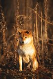 Cute red Shiba inu dog sitting in the forest at golden sunset. Profile Portrait of a cute red dog breed Shiba inu sitting in the forest at golden sunset royalty free stock photography