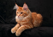 Cute red solid maine coon kitten lying on cover with beautiful b Stock Photo
