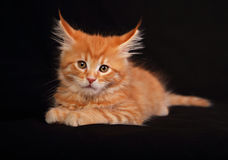 Cute red solid maine coon kitten sitting with beautiful brushes Royalty Free Stock Photo