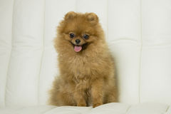 Cute red Spitz dog Stock Images