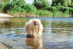 Cute red spitz swims in water of river Stock Photography
