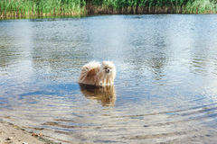 Cute red spitz swims in water of river Royalty Free Stock Images