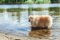 Cute red spitz swims in water of river Stock Images