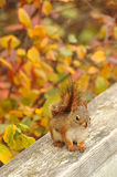 Cute red squirel Royalty Free Stock Images