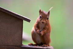 Cute Red Squirrel. A cute red squirrel taking seeds from a feeder box Royalty Free Stock Image