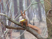 Cute red squirrel with apple in it's mouth looking into camera a. Nd posing on the branch in early spring Stock Image