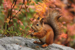 Cute red squirrel in autumn Stock Photos
