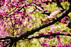 Cute red squirrel on the blooming tree with pink flowers Royalty Free Stock Photos