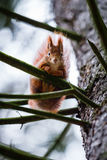 Cute red squirrel in the branches of the pine tree watching Royalty Free Stock Images