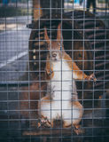 Cute red squirrel in the cage of zoo Stock Image