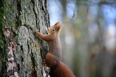 Cute red squirrel climbing on tree trunk bark Royalty Free Stock Photography