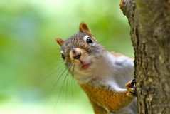 Cute Red Squirrel Royalty Free Stock Photography