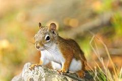 Cute red squirrel closeup stock image