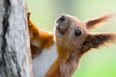 Cute red squirrel. Closeup image of red squirrel (Sciurus vulgaris) on pine tree Royalty Free Stock Photo