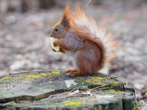 Free Cute Red Squirrel Eating Apple Fruit And Posing On The Stump In Royalty Free Stock Photography - 68194507
