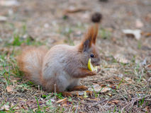 Cute red squirrel eating apple fruit human-like and posing in th. E park in early spring Royalty Free Stock Photos