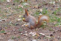 Cute red squirrel eating apple fruit and posing in the park. In early spring Royalty Free Stock Photos
