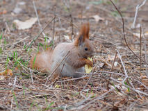 Cute red squirrel eating apple fruit and posing in the park. In early spring Stock Photo