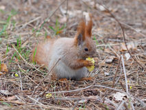 Cute red squirrel eating apple fruit and posing in the park. In early spring Stock Image
