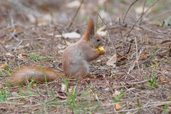 Cute red squirrel eating apple fruit and posing in the park. In early spring Royalty Free Stock Photography
