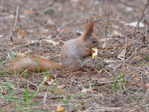 Cute red squirrel eating apple fruit and posing in the park. In early spring Royalty Free Stock Images