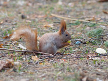 Cute red squirrel eating apple fruit and posing in the park. In early spring Royalty Free Stock Image