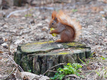 Cute red squirrel eating apple fruit and posing on the stump in. The park in early spring Royalty Free Stock Photos
