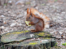 Cute red squirrel eating apple fruit and posing on the stump in. The park in early spring Royalty Free Stock Images