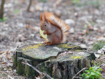 Cute red squirrel eating apple fruit and posing on the stump in. The park in early spring Stock Photography