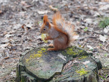Cute red squirrel eating apple fruit and posing on the stump in. The park in early spring Stock Images