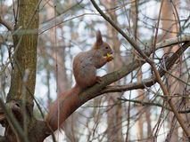 Cute red squirrel eating apple in and posing on the branch. In early spring Stock Image
