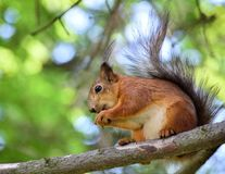 Cute red squirrel eating a nut on the tree branch. Red squirrel eating a nut on the tree branch Royalty Free Stock Photos