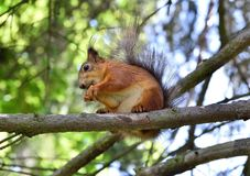 Cute red squirrel eating a nut on the tree branch. Red squirrel eating a nut on the tree branch Stock Photography