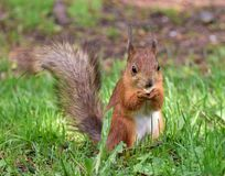 Cute red squirrel eating a nut on the tree branch. Red squirrel eating a nut on the tree branch Royalty Free Stock Image