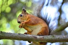 Red squirrel eating a nut on a tree branch. Cute red squirrel eating a nut on a tree branch Royalty Free Stock Images