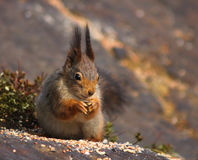Cute red squirrel eating seeds Royalty Free Stock Photography